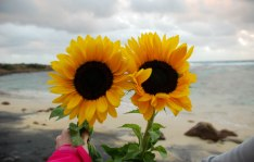 2017.05.14 Benjamin's Sunset Sunflowers Week 4